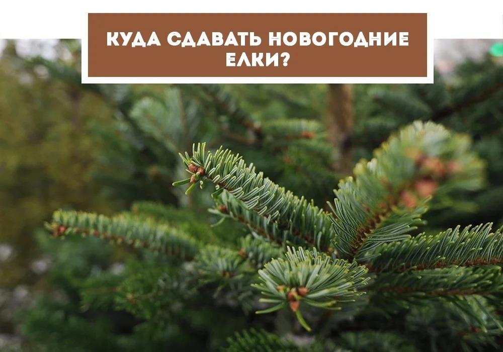 gallery_1_kuda-sdat-novogodnie-elki-v-vologde